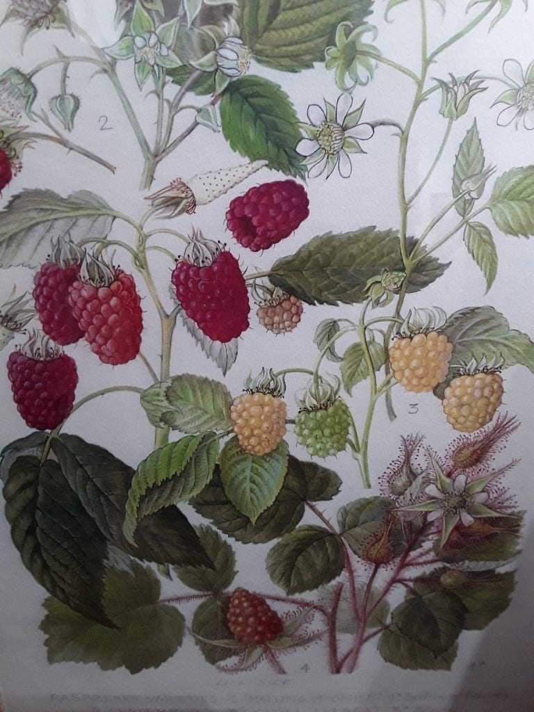 Framed botanic print of raspberry varieties